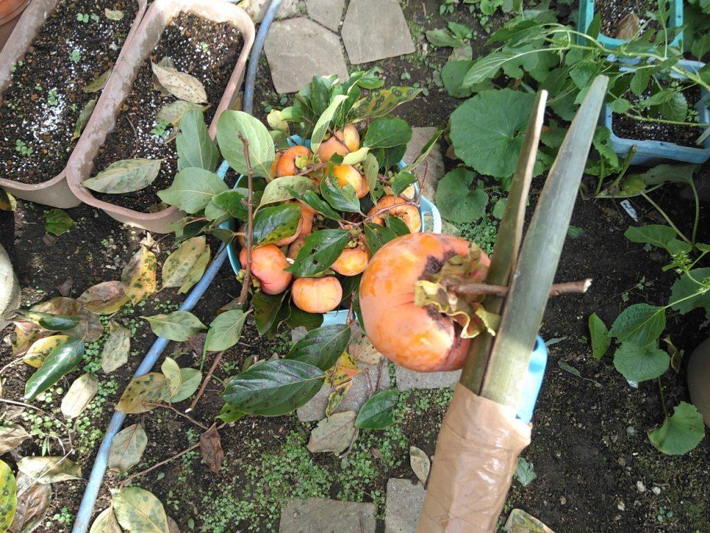 実際に柿を取ったところ