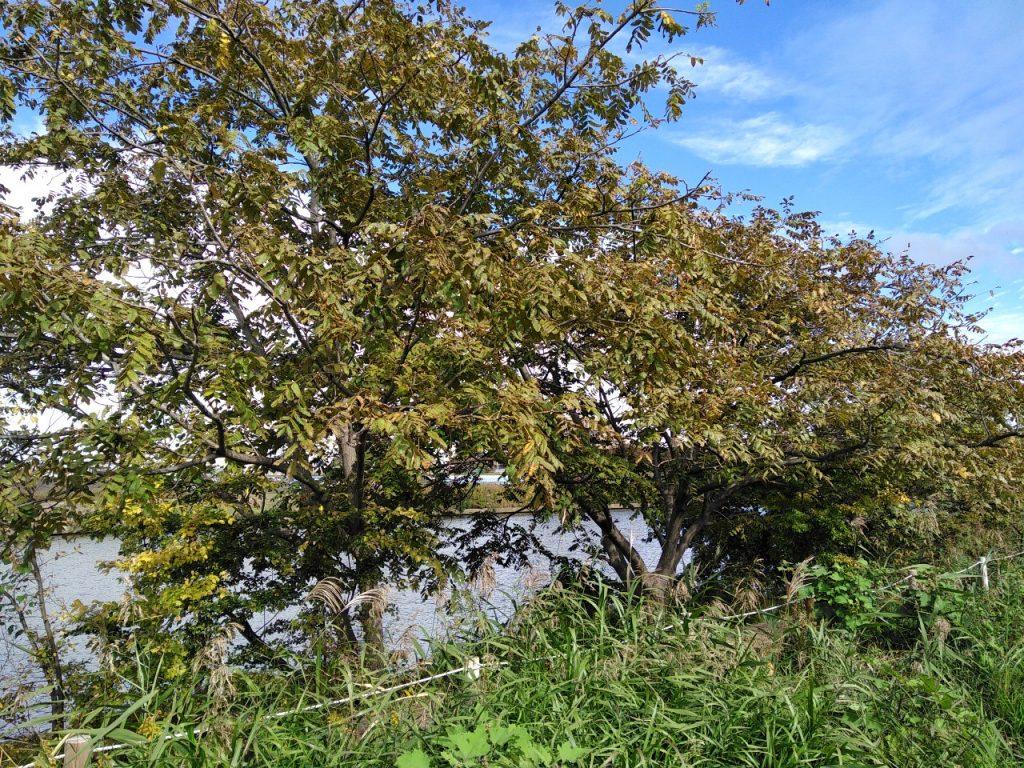 鶴見川のオニクルミの木